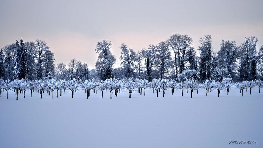 Verschneite Apfelplantage bei Marbach im Rheintal mit rosa Horizont