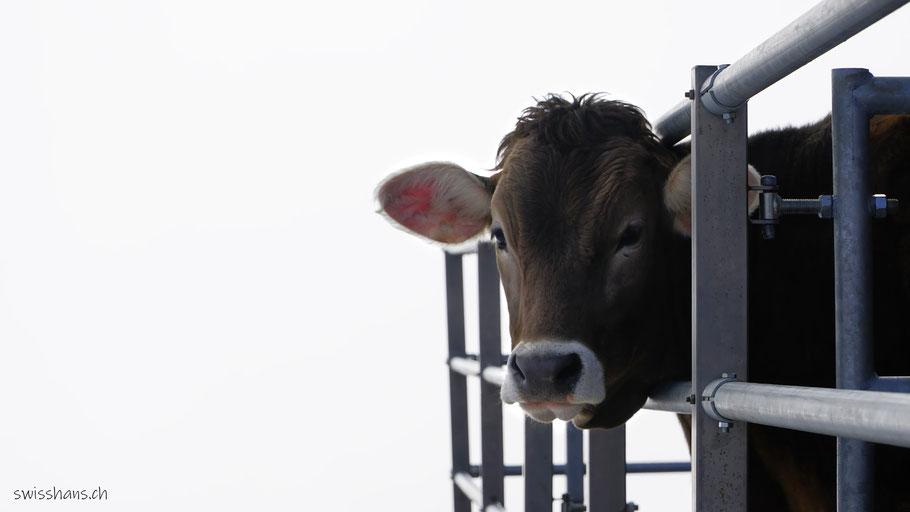 Kuh beim Gasthaus Sommersberg