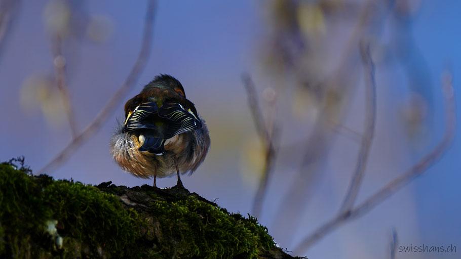 Buchfink sitzt auf einem Ast und zeigt sein Gefieder von hinten
