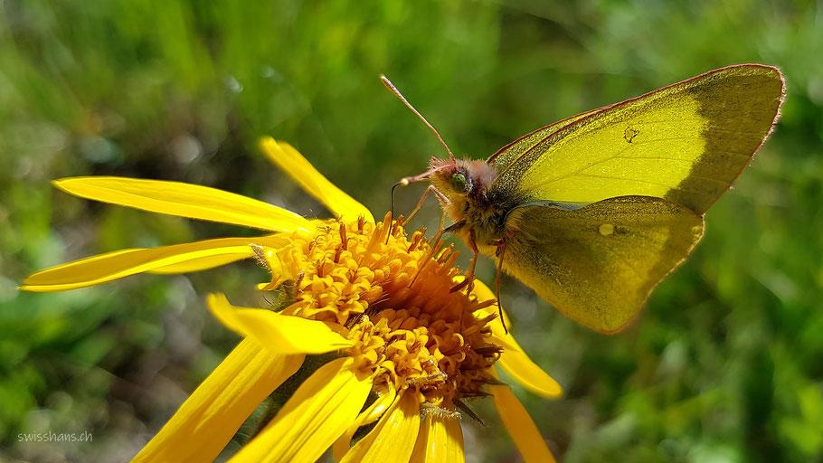 Gelber Falter auf einer gelben Sommerblume saugt Nektar. Nahaufnahme