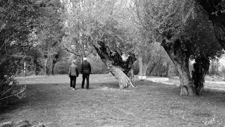 Uralte Weiden mit einem älteren Paar am Bodensee bei Altenrhein