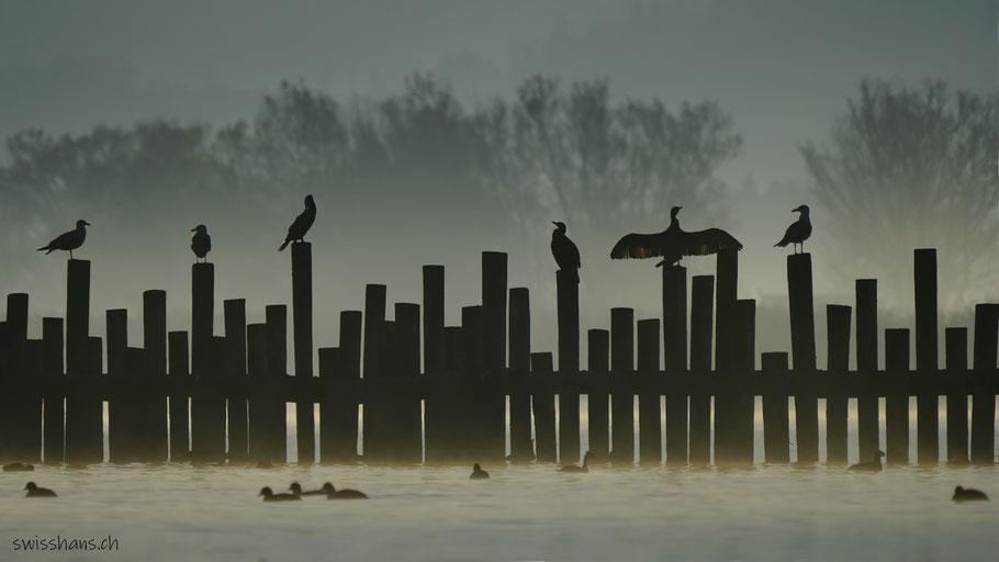 Kormorane und Möven sitzen auf den Pfählen im Bodensee
