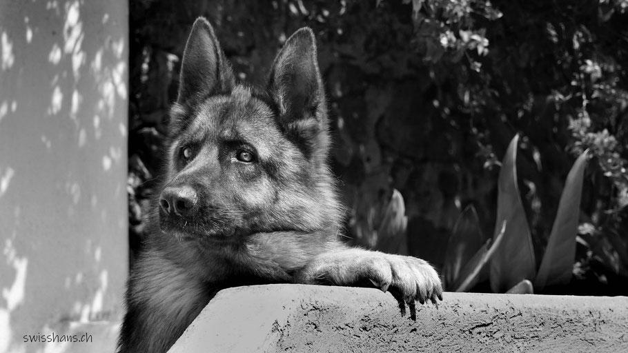 Portrait eines Schäferhundes