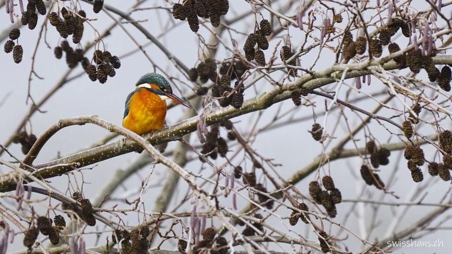 Eisvogel in einer Baumkrone