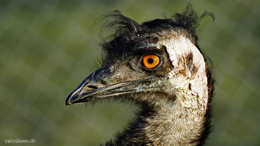 Portrait eines Emu im Gnadenhof Eichberg