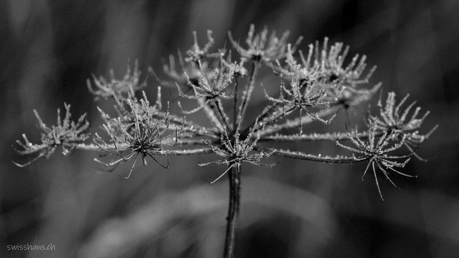 Verdorrte Pflanze mit Reif