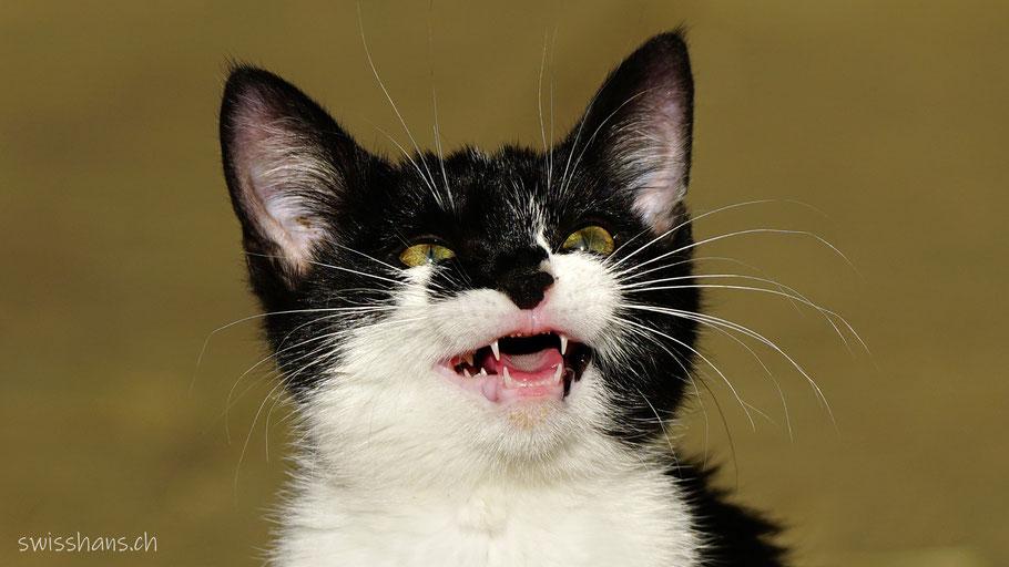 Junge Katze macht Miau