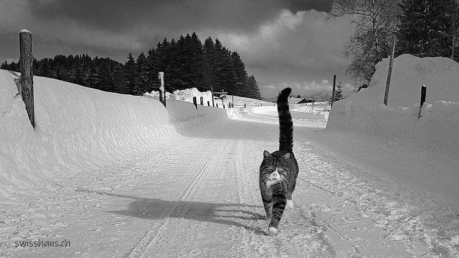 Katze läuft auf dem verschneiten Weg mit erhobenem Schwanz