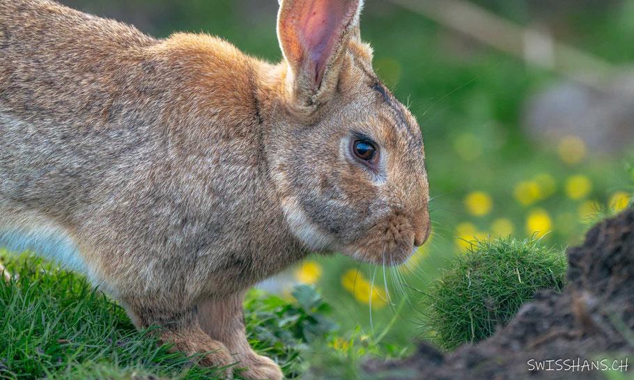 Känguru beim Erlebnisbauernhof Steigmatt bei Montlingen