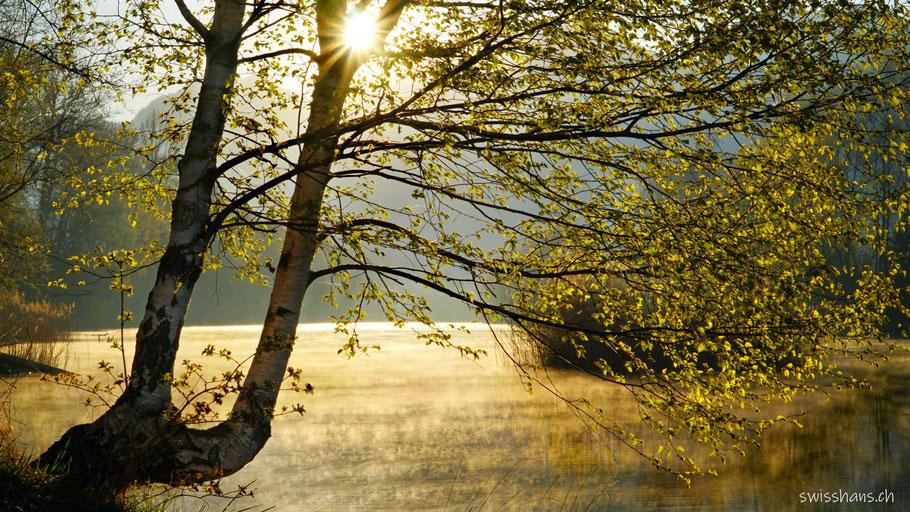 Birke am Alten Rhein bei Diepoldsau im Frühling in der Morgensonne.