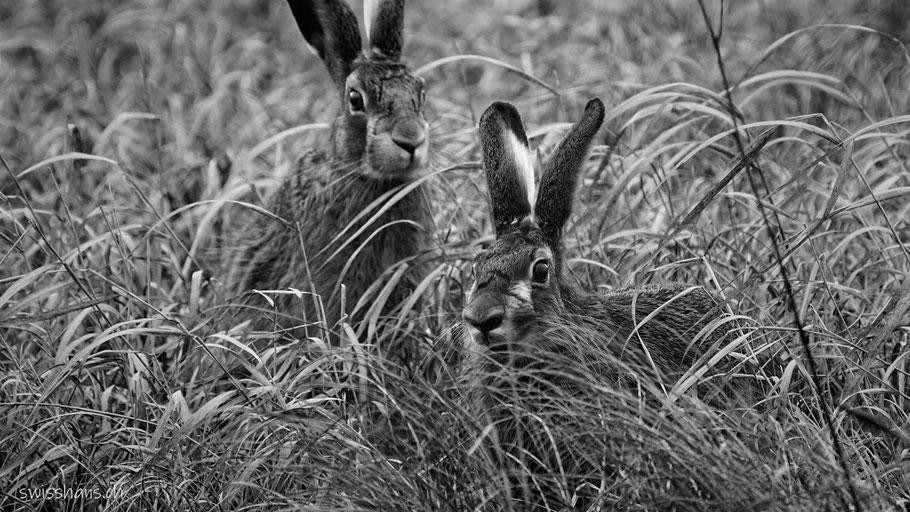 Zwei Feldhasen sitzen im trockenen Gras