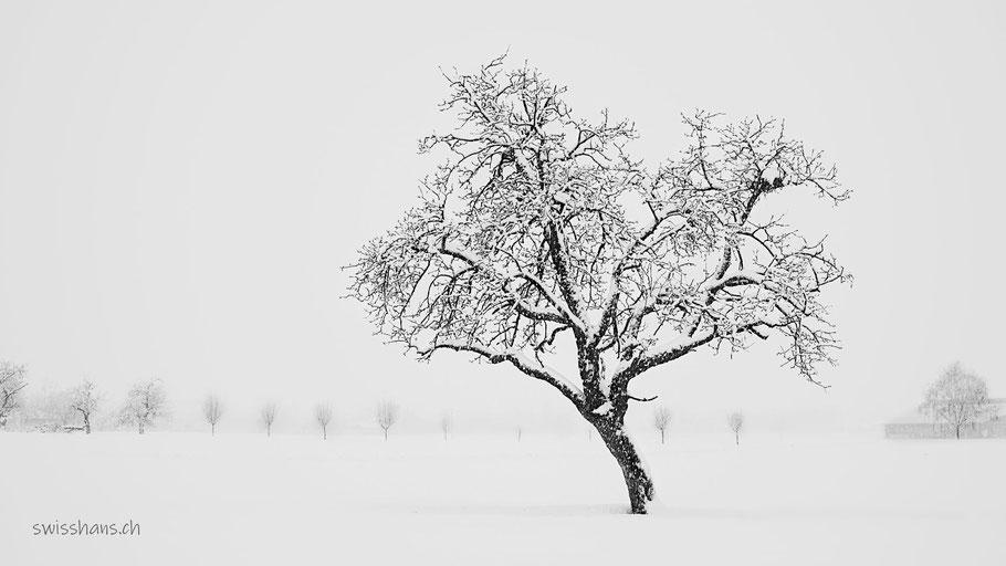 Verschneiter Baum in der Winterlandschaft von Rebstein