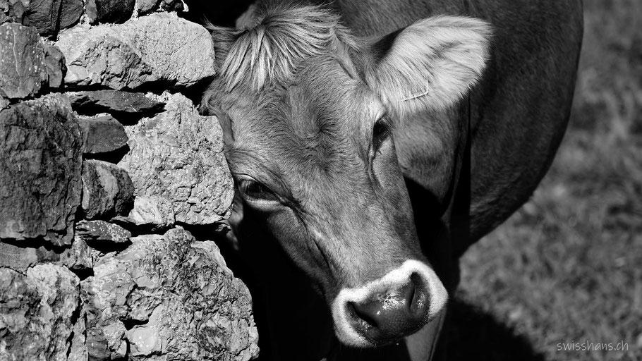 Kuh kratzt sich an einer Mauer