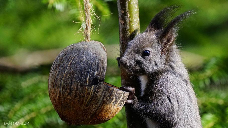 Eichhörnchen frisst aus einer aufgeschnittenen Kokosnuss beim Giessenpark von Bad Ragaz