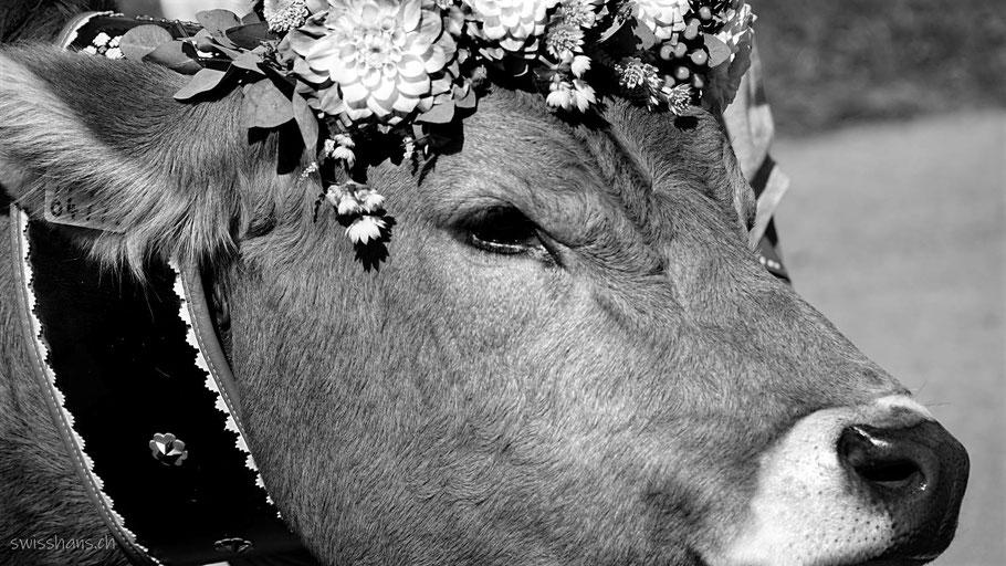 Mit Blumen geschmückter Kopf einer Kuh am Wyden-Alpaufzug in Balgach
