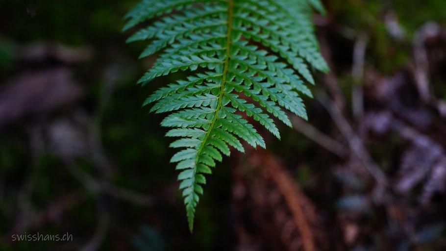 Grünes Farnblatt im dunklen Wald. Nahaufnahme