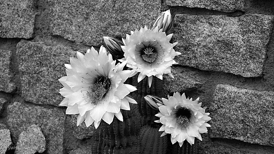 Drei Kaktusblüten vor einer Steinmauer