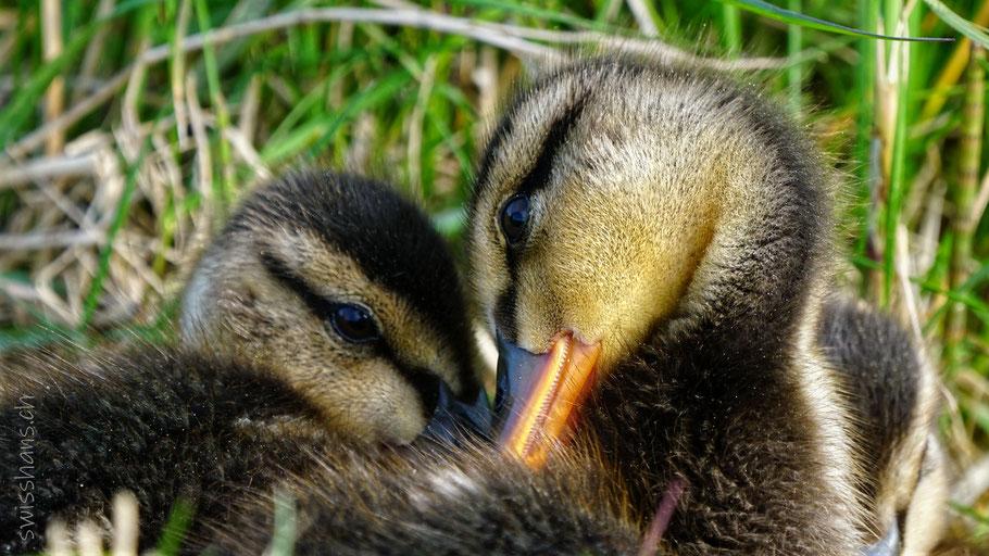 Zwei junge Enten kuscheln im Gras