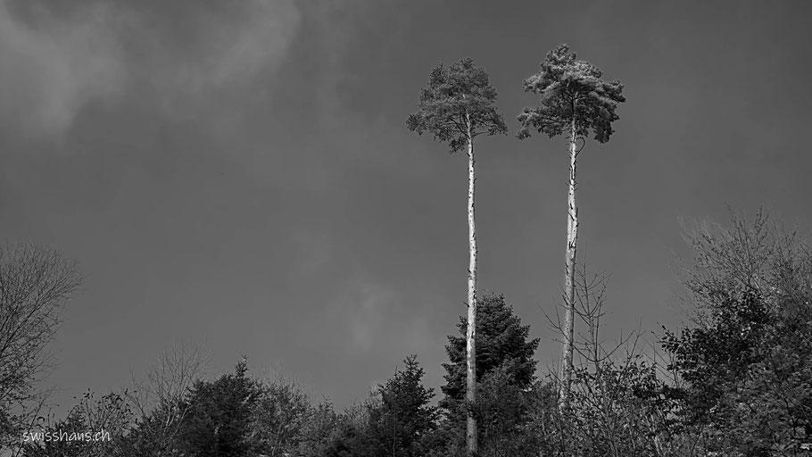 Zwei Bäume mit sehr langem Stamm im Wald von Balgach