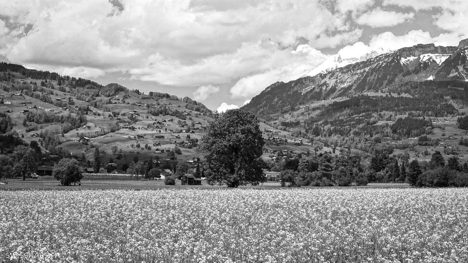 Rapsfeld und Baum bei Gams im Rheintal