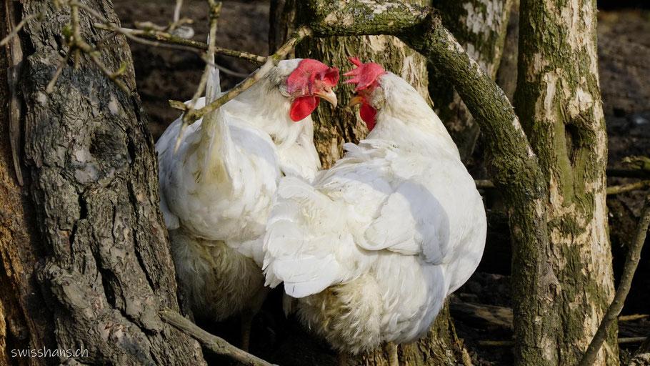 Zwei Hühner auf der Steigmatt bei Montlingen schauen sich an