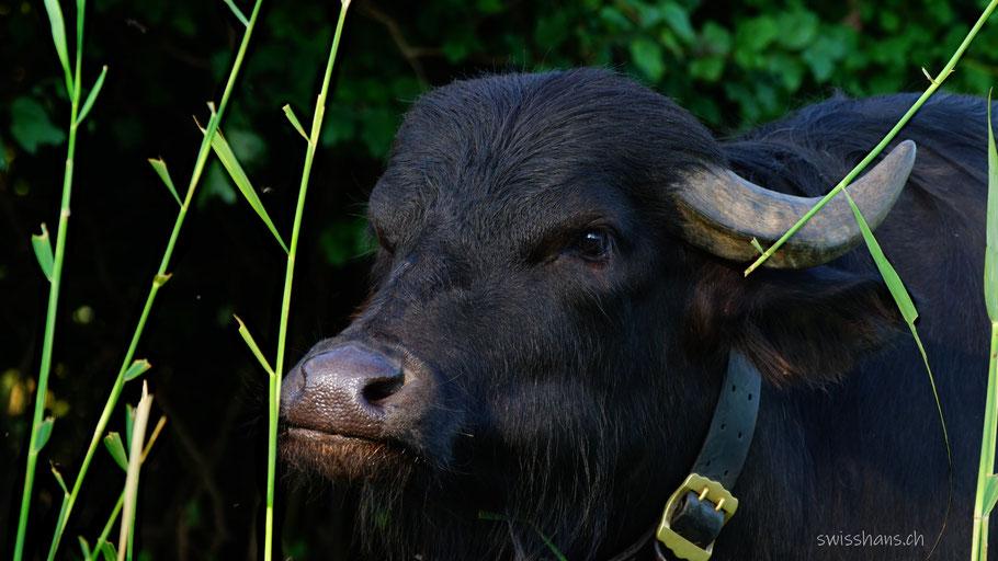 Portrait vom Wasserbüffel im hohen Schilf