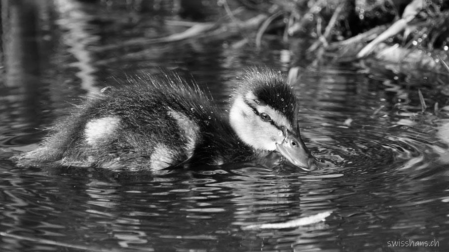 Junge Ente im Moorsee