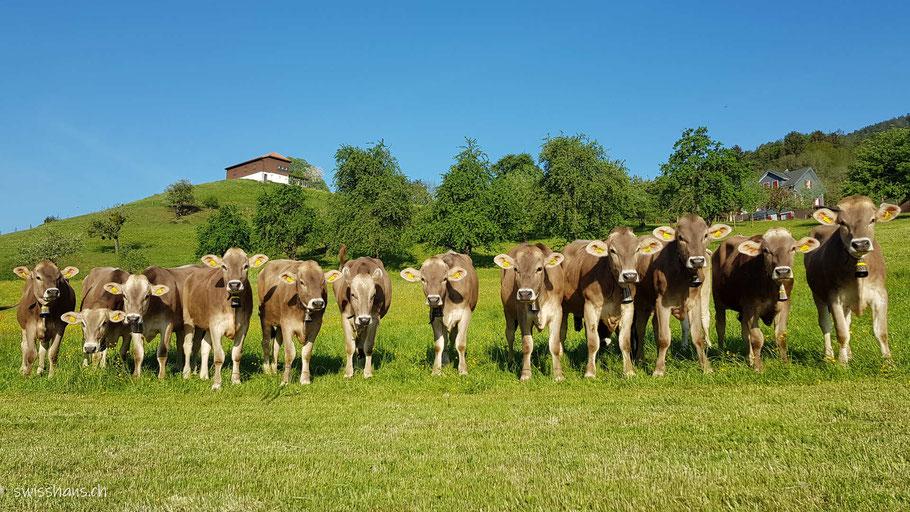 Zwölf Rinder auf der Wiese in einer Reihe.