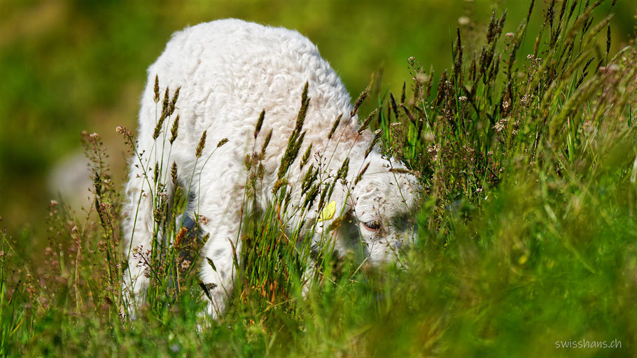 Ein weisses Lamm frisst Gras in der Wiese mit hohen Gräsern