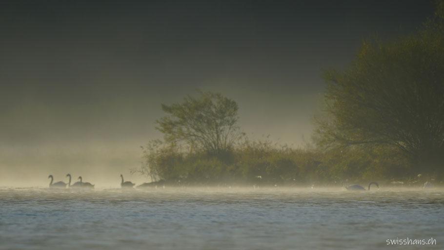 Schwäne schwimmen auf dem Bodensee im Frühnebel.