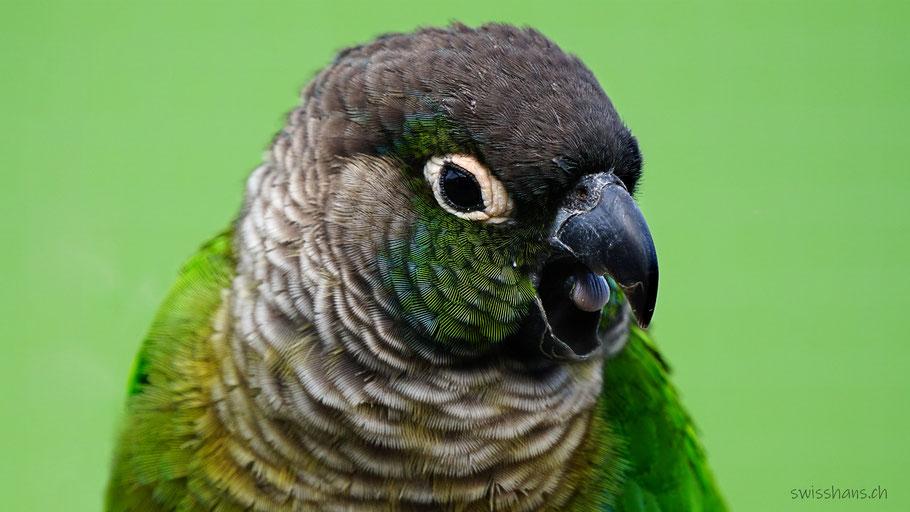 Portrait eines grünen Sittichs
