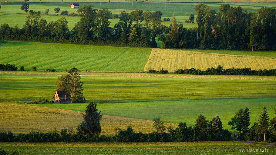 Saftige Wiesen im Rheintal mit einem markanten Stall.