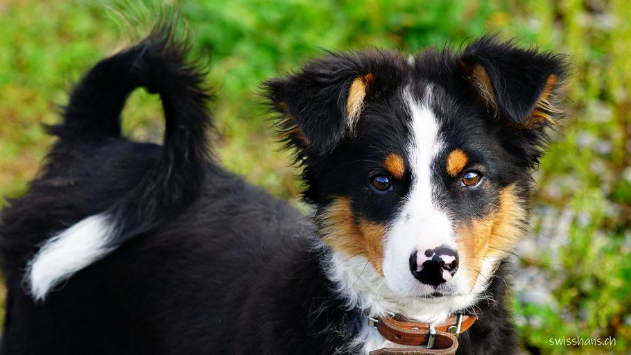 Hofhund beim Birkenhof in Balgach