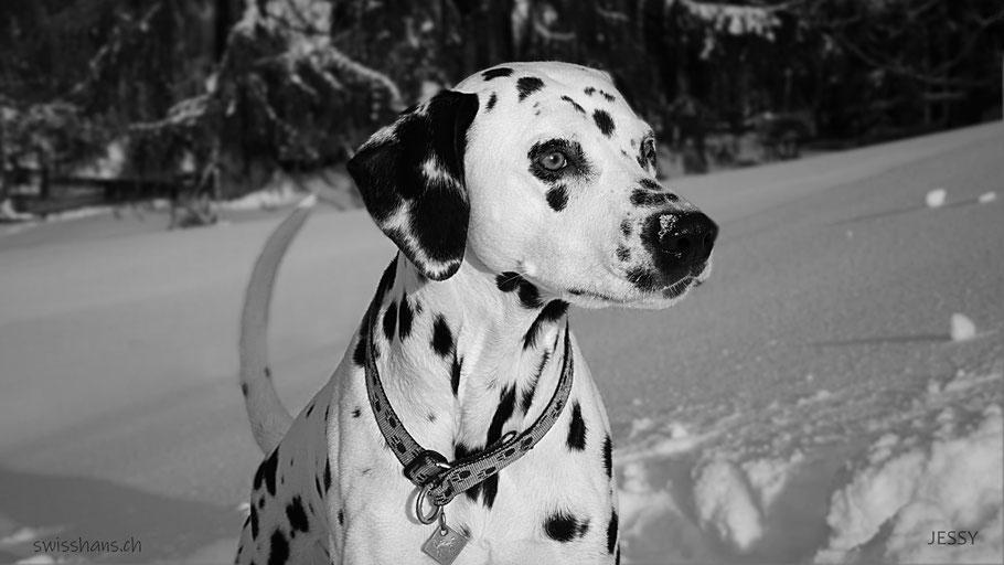 Portrait eines Dalmatiners