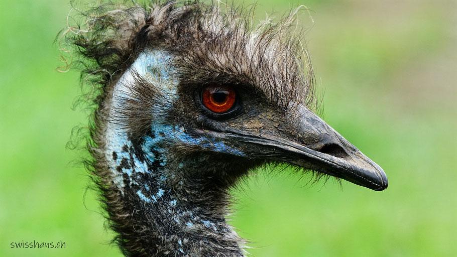 Portrait eines Emus