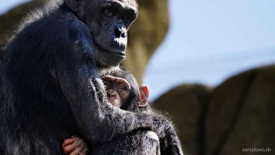 Schimpansenmutter mit Schimpansenbaby im Walter Zoo Gossau