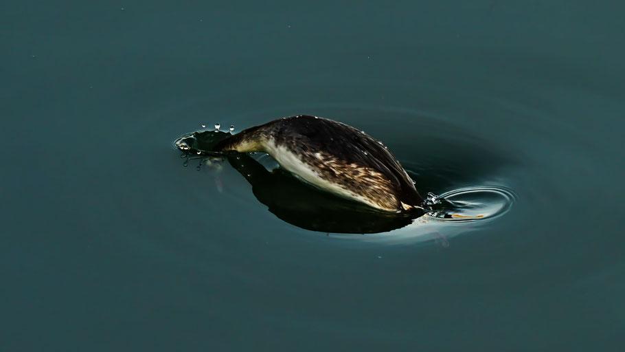 Ein Haubentaucher taucht im Wasser ab.