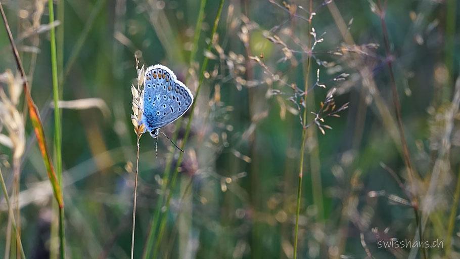 Schmetterling in der Wiese bei der Schollenmühle Altstätten