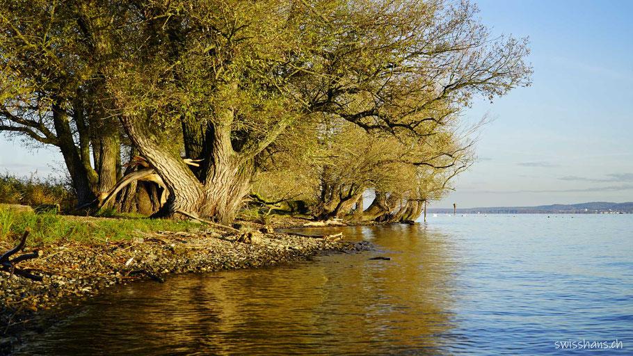 Alte Bäume stehen am Ufer des Bodensees beim Rheinspitz im Morgenlicht