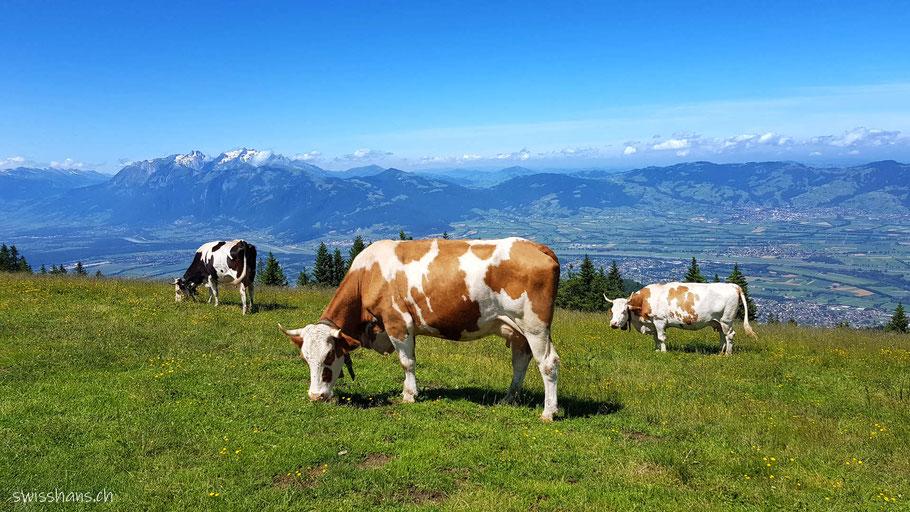 Drei Kühe auf dem Berg Hohe Kugel mit dem Rheintal im Hintergrund.