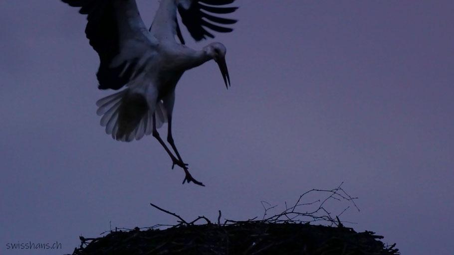 Storch landet auf dem Horst in der Nacht