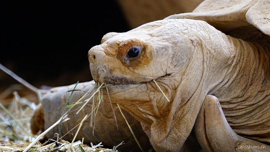 Portrait einer Spornschildkröte im Walter Zoo in Gossau mit Stroh im Mund