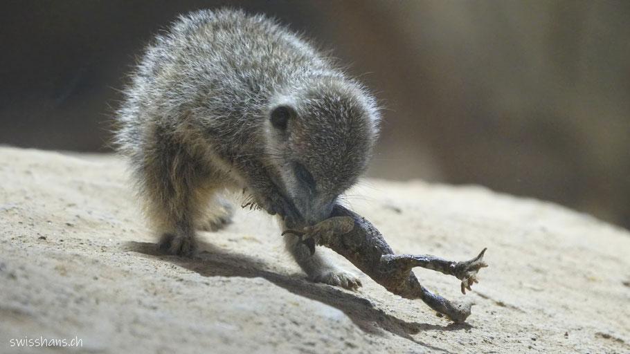 Junges Erdmännchen auf einem Stein im Walter Zoo frisst einen Frosch
