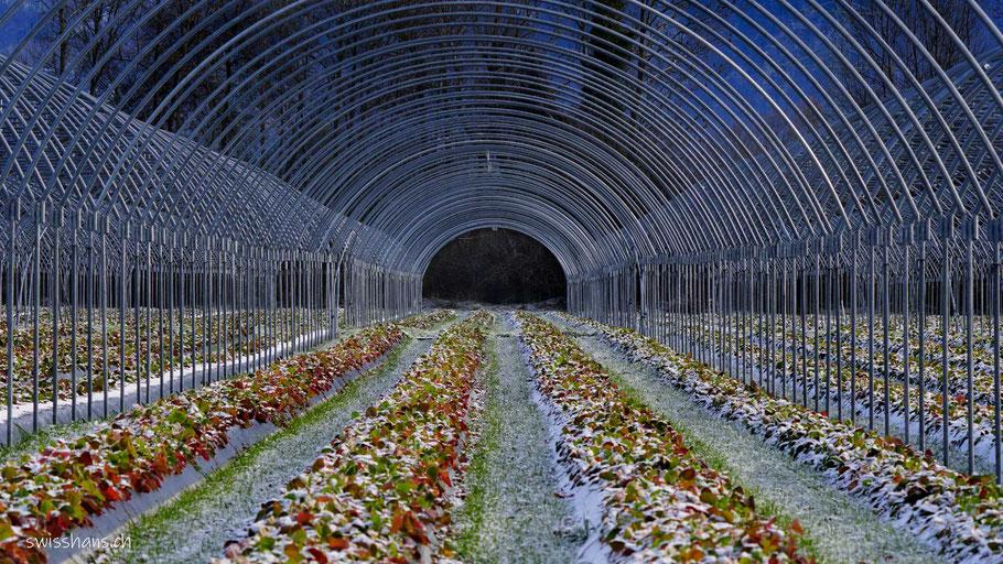 Erdbeerenfeld mit Metallstangen des Treibtunnels