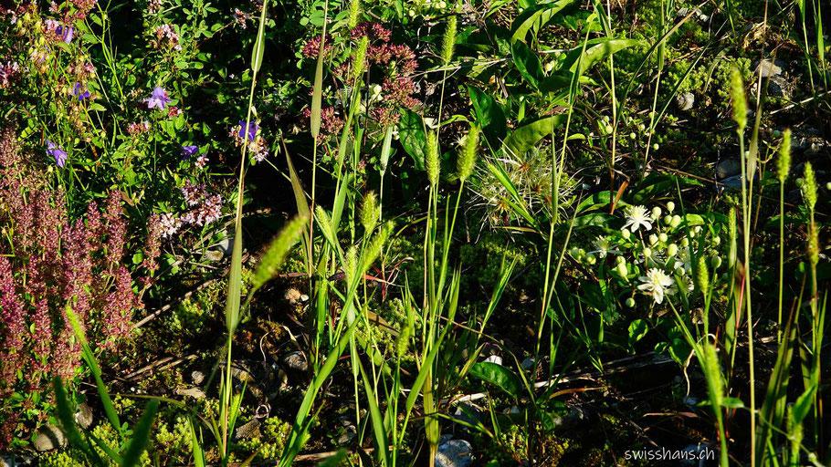Verschiedene Blumen blühen am Rebhang von Balgach