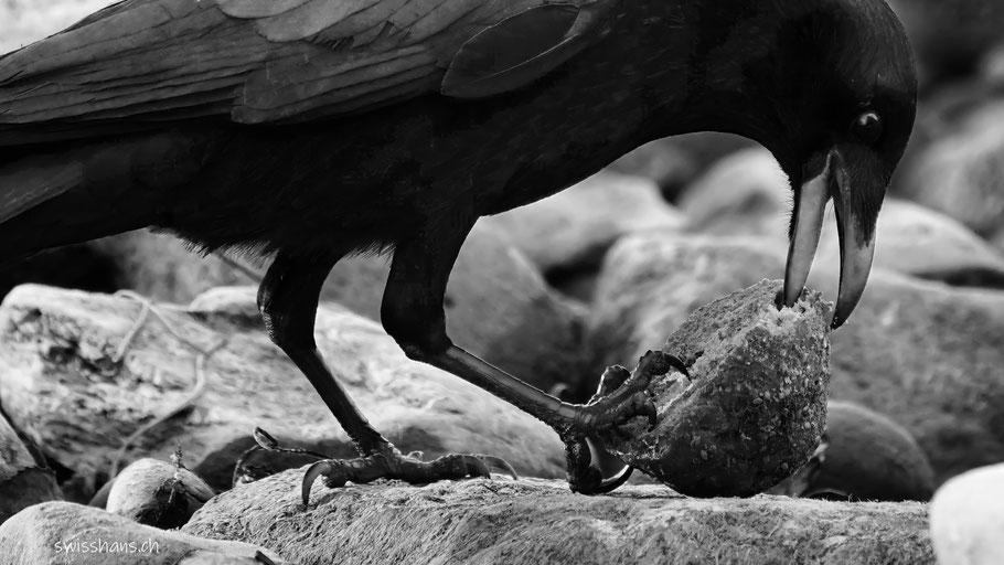 Eine Krähe isst Brot am Bodensee bei Staad_Rheintal