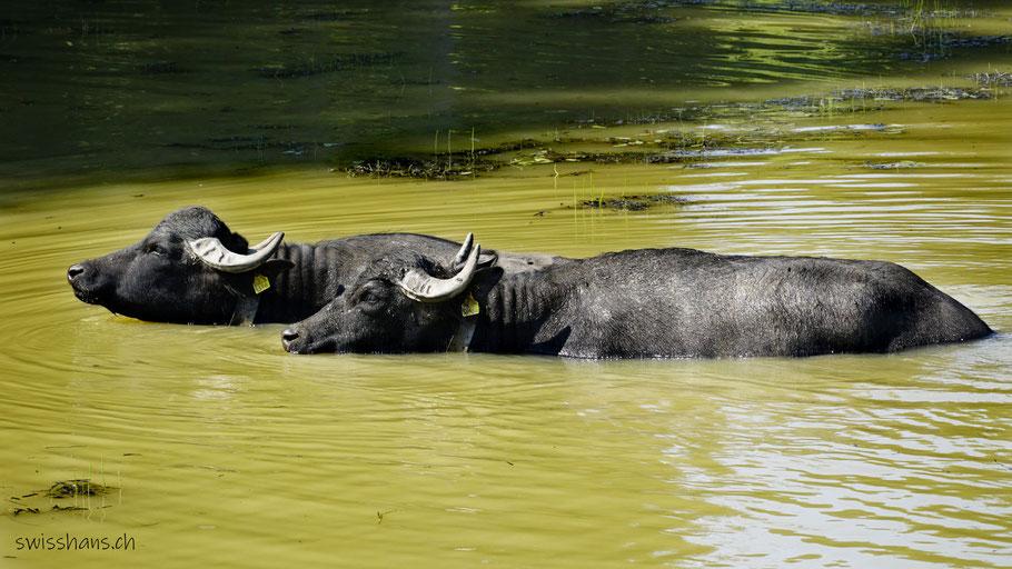 Zwei Wasserbüffel nehmen bei der Kapelle beim Hämmerles Älpele ein Bad.