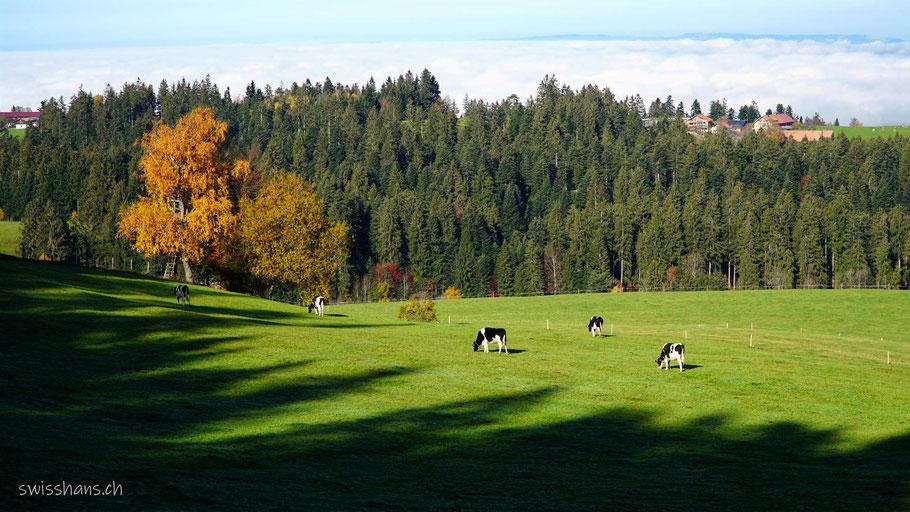 Wiese mit Kühen und herbstlich gefärbten Bäumen. Nebelmeer im Hintergrund.