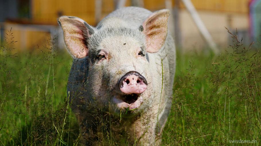 Schwein beim Café Mäser im Feld Marbach