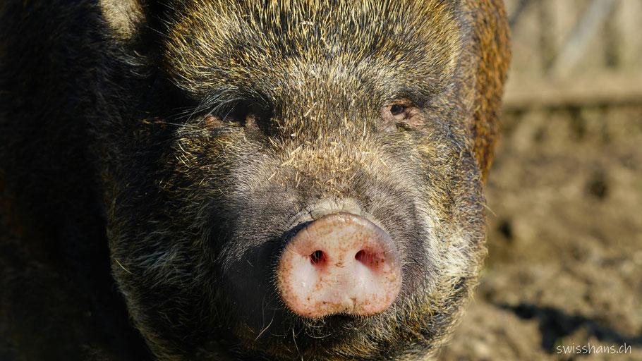 Portrait eines Mini-Pig im Zoo Gnadenhof Eichberg